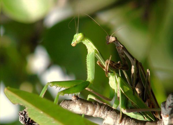mantis-religiosa-voraz-y-sigilosa-mantis-apareando