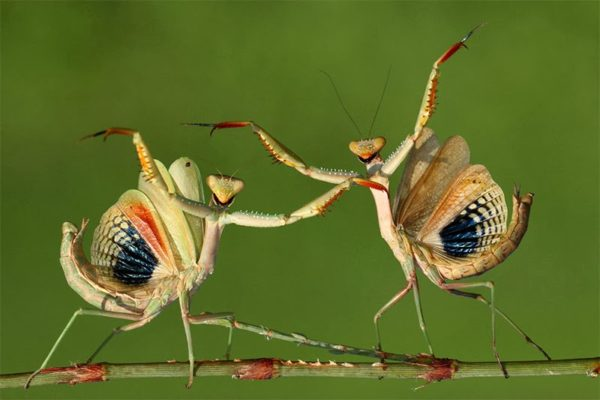 Machos luchando por una hembra