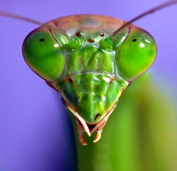 Cabeza de una Mantis Religiosa,con sus ojos compuestos laterales y su triángulo ocelar