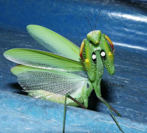 mantis-religiosa-voraz-y-sigilosa-mantis-ojos2
