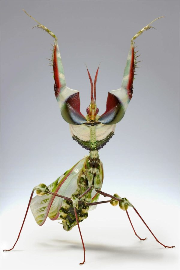 mantis-religiosa-voraz-y-sigilosa-mantis-orquidea