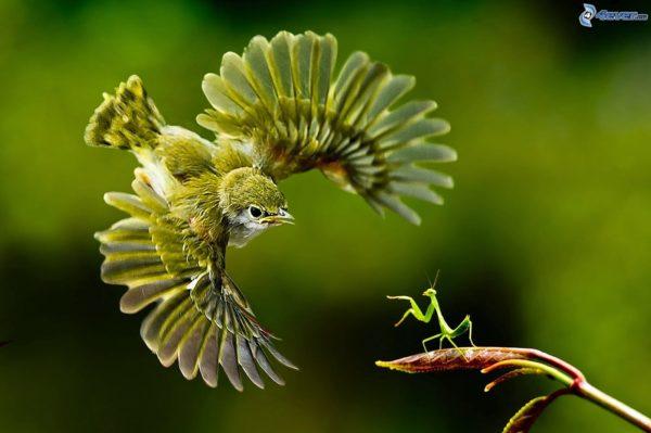 mantis-religiosa-voraz-y-sigilosa-mantis-pajaro
