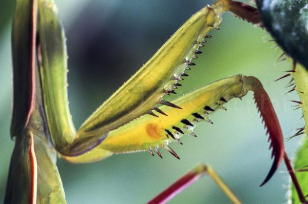 Detalle de las patas de la Mantis Religiosa