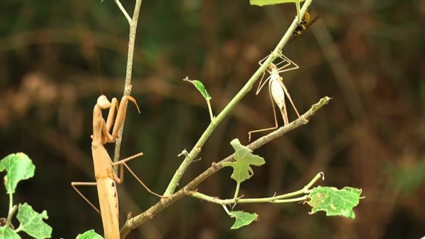 mantis-religiosa-voraz-y-sigilosa-presa