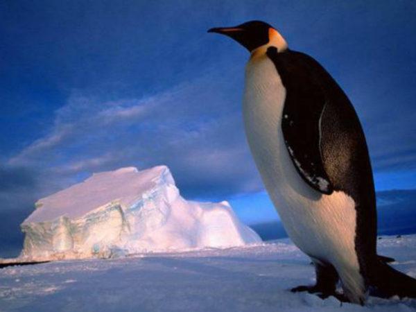 pinguino-en-el-iceberg