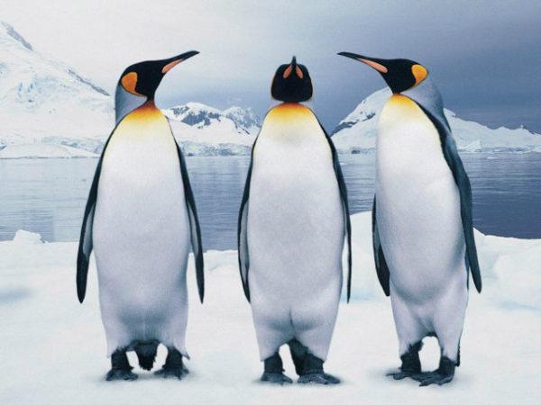 Pingüinos Fotos Tipos Características Están En Peligro De Extinción Animalesmascotas