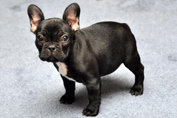 bulldog-frances-portada