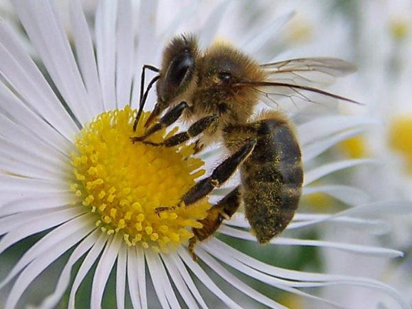 abejas-flor