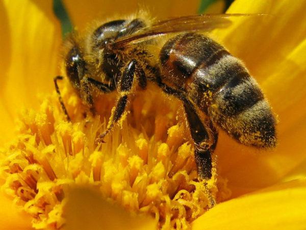 abejas-flor-amarilla