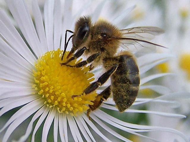 Abejas Fotos Características Y Producción De Miel Animalesmascotas