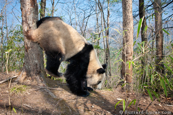 A young male panda scent marking a tree.