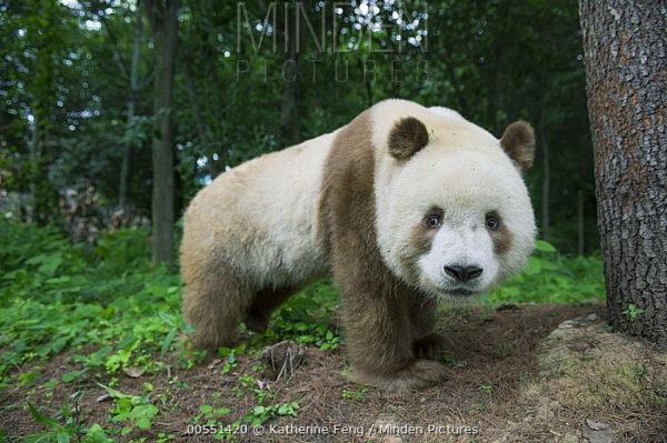 oso-panda-panda-gigante-marron-andando