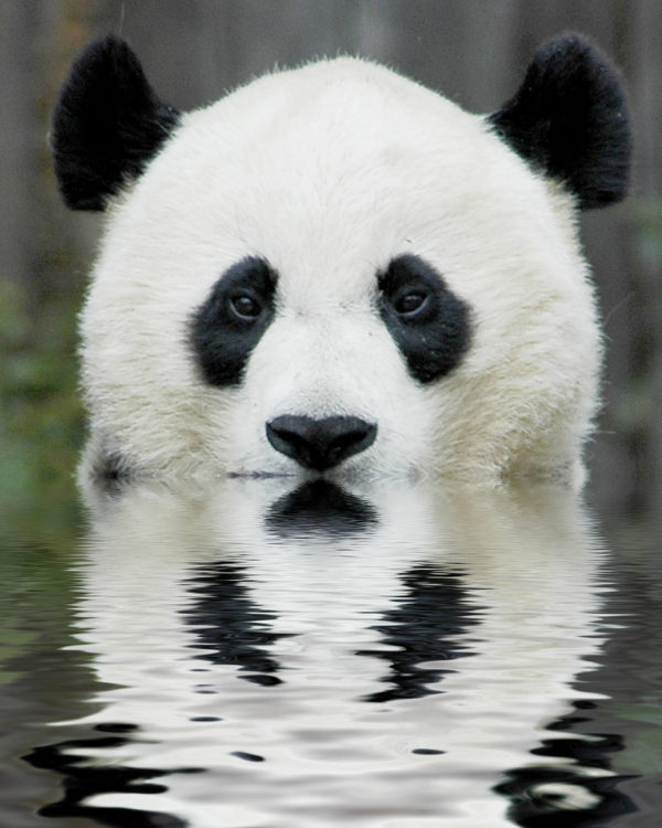 oso-panda-panda-gigante-nadando