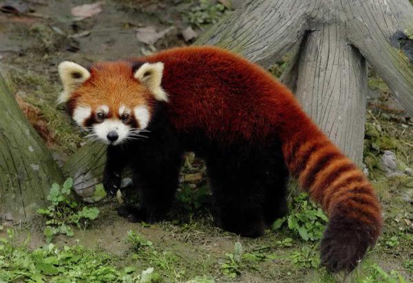 oso-panda-panda-rojo