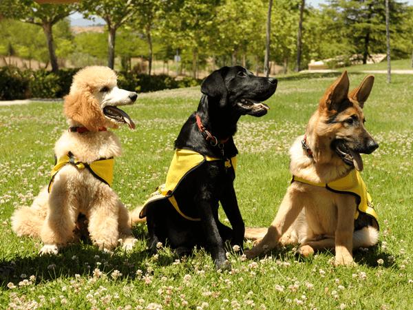 perros-guia-razas