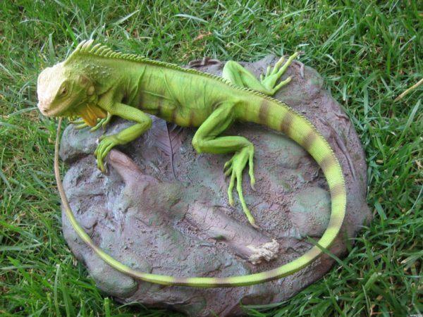 iguana-verde-4