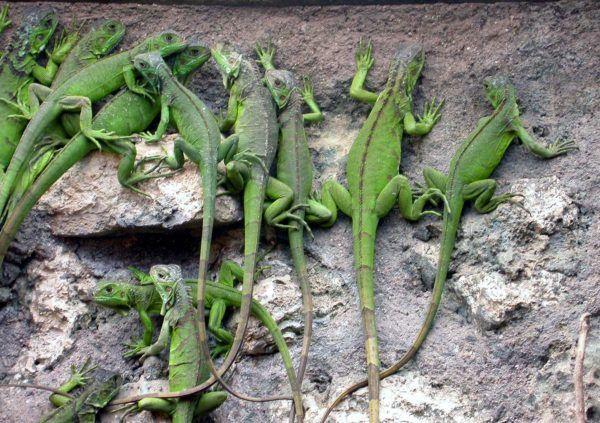 iguana-verde-7