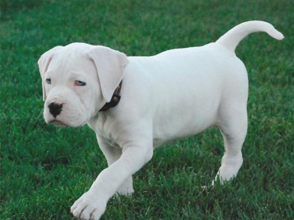 Bulldog-americano-blanco-cachorro