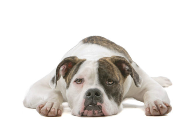 Bulldog-americano-con-manchas