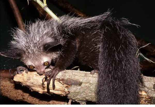 animales-raros-ayeaye-gigante