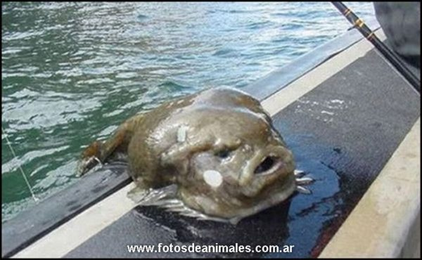 animales-raros-blobfish