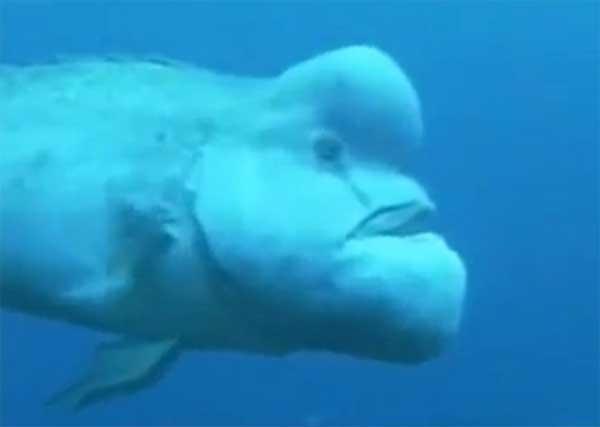 animales-raros-blobfish-nadando
