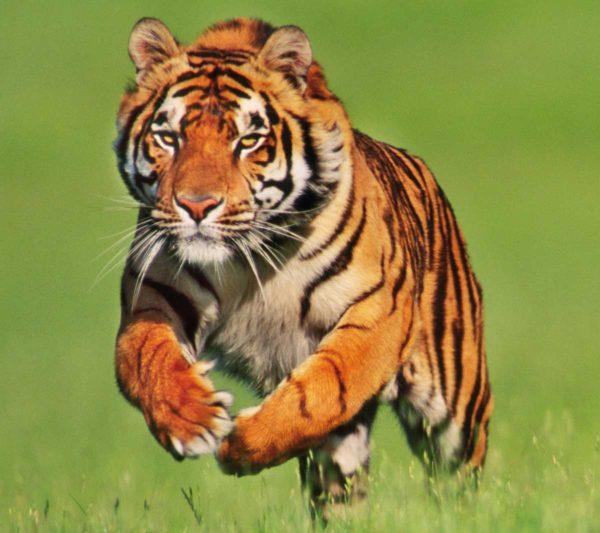 las-mejores-fotos-de-tigres-foto-1