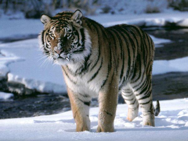 las-mejores-fotos-de-tigres-foto-12