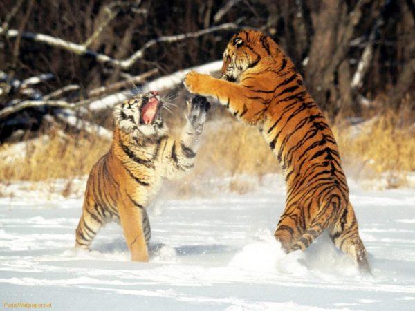 las-mejores-fotos-de-tigres-foto-13