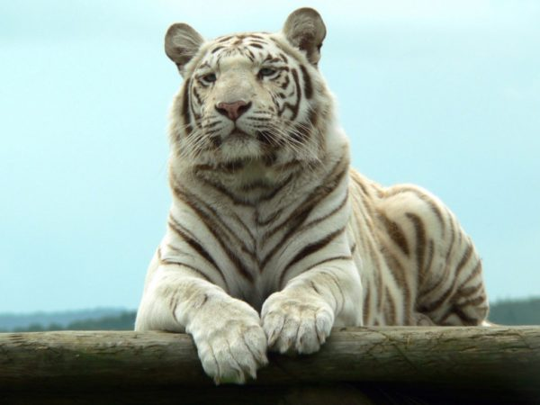 las-mejores-fotos-de-tigres-foto-14