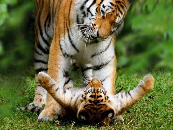 las-mejores-fotos-de-tigres-foto-15