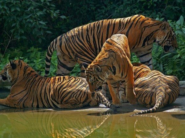 las-mejores-fotos-de-tigres-foto-17