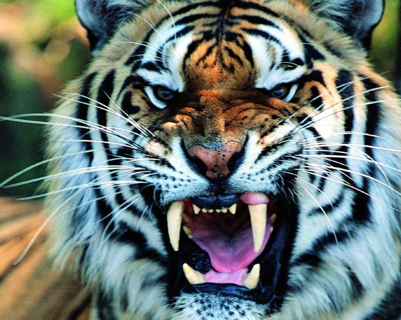 las-mejores-fotos-de-tigres-foto-3