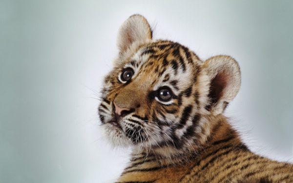 las-mejores-fotos-de-tigres-foto-7