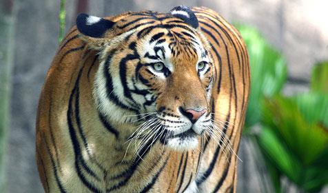 las-mejores-fotos-de-tigres-malayo