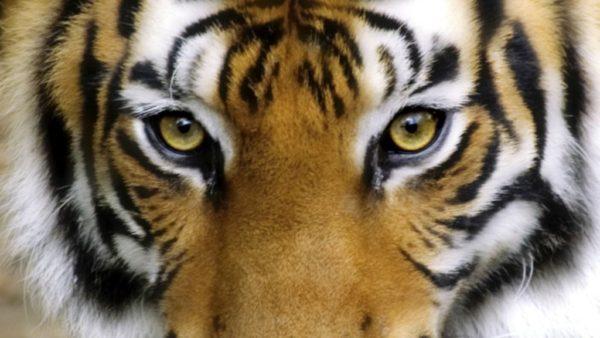 las-mejores-fotos-de-tigres-portada