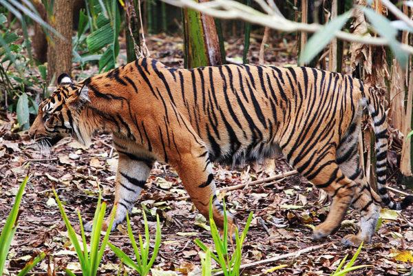 las-mejores-fotos-de-tigres-sumatra