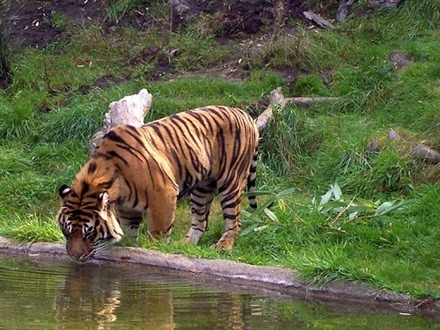 tigre 7