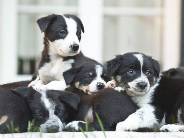 border-collie-cachorros