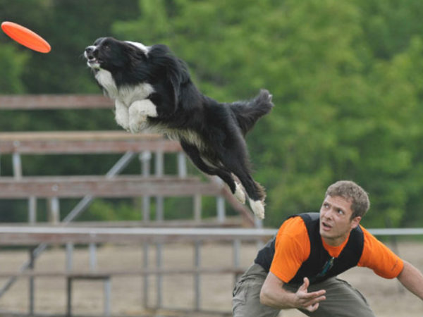 border-collie-competición-disco