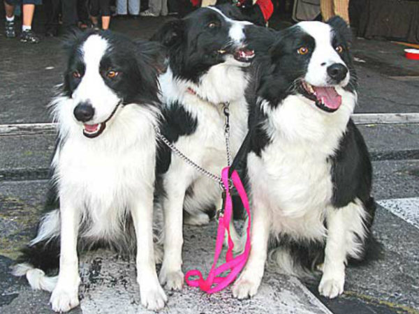 border-collie-perros