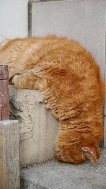fotos-de-gatos-graciosos-gato-con-la-cabeza-hacia-abajo