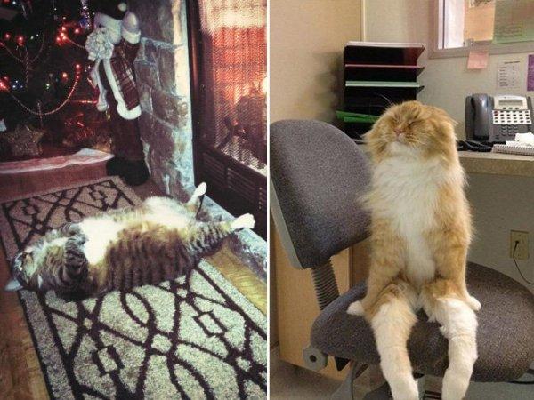 fotos-de-gatos-graciosos-gato-gordo-tumbado-gato-sentado