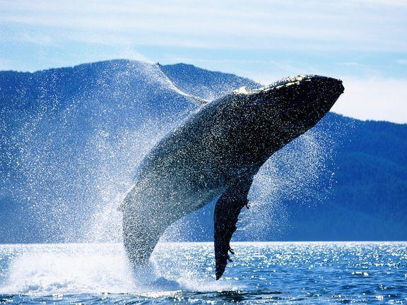 ballena-azul-peligro-de-extincion