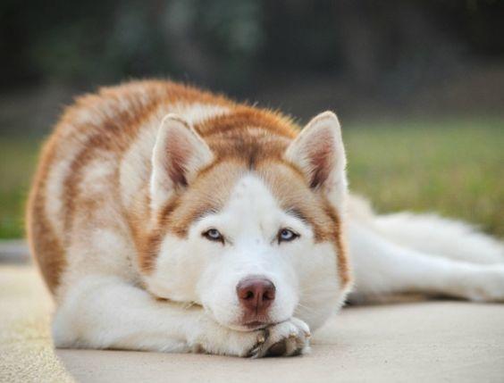cuidados-de-mascotas-en-invierno-huski