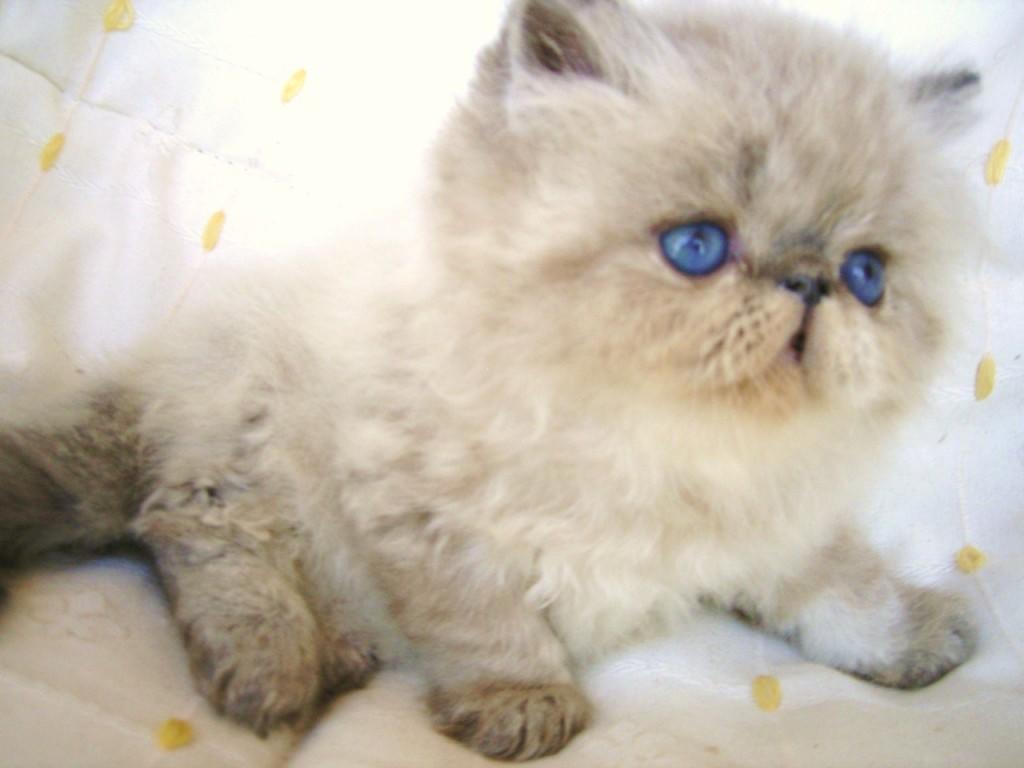 razas-de-gatos-persa-tabby