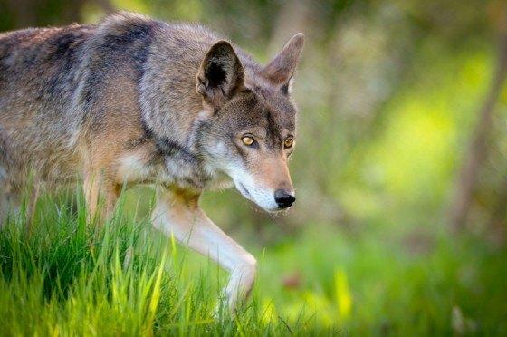 lobo-rojo