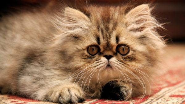 Gato persa tabby fotos ejemplar mayor
