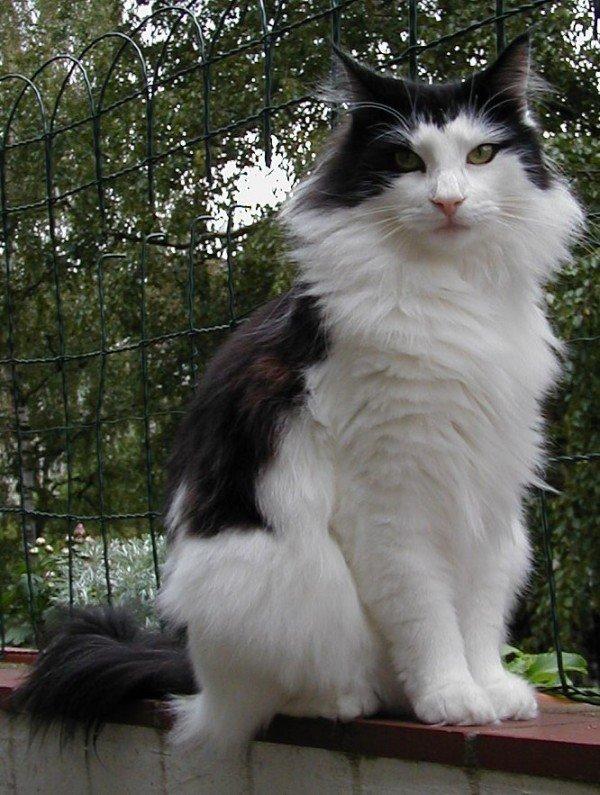 razas-de-gato-gatos-bosque-de-noruega-cuidados