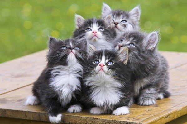 razas-de-gato-gatos-bosque-de-noruega